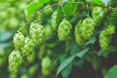 Sticker green branches of hops in natural light