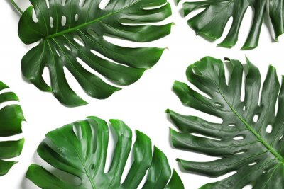 Sticker Green fresh monstera leaves on white background, top view. Tropical plant