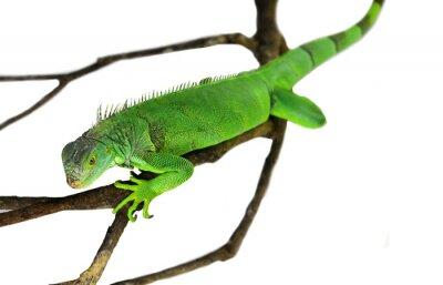 Sticker Green Iguana isolé sur blanc avec chemin de détourage
