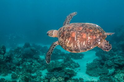 Sticker Green turtle swimming among colorful coral reef formations in the wild