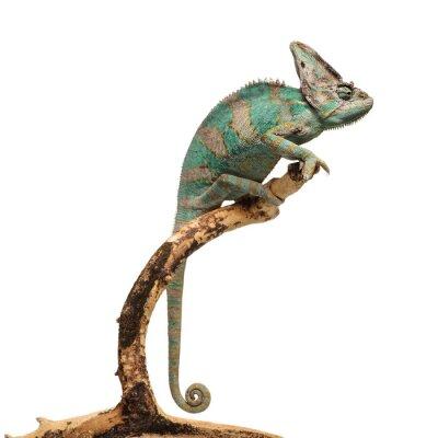 Sticker Greenish brown chameleon on branch