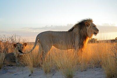 Sticker Gros, mâle, africaine, lions, (Panthera, leo), tôt, matin, lumière, Kalahari, désert, sud,
