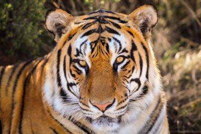 Sticker Gros plan Portrait d'un tigre