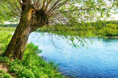 Sticker Gros, vieux, arbre, rivière, banque