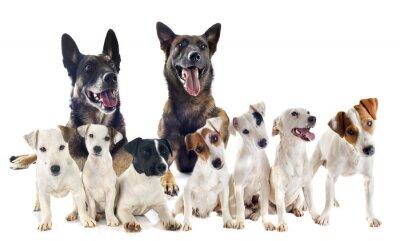 Sticker groupe de jack russel terrier et malinois