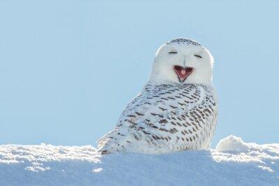 Sticker Harfang des neiges - Le bâillement / Sourire dans la neige