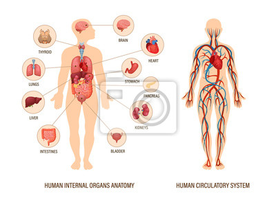 Sticker Human body anatomy infographic of structure of human organs