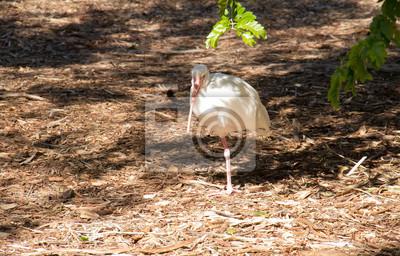Ibis blanc sous l'ombre de l'arbre à Miami, Floride