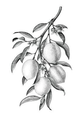 Sticker Illustration de clipart noir et blanc de branche branche citron isoler sur fond blanc