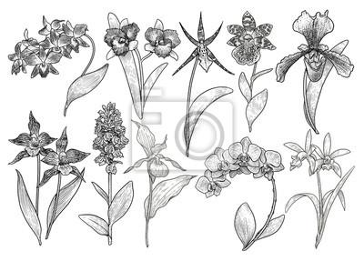Sticker Illustration De Collection De Fleur Dorchidée Dessin Gravure