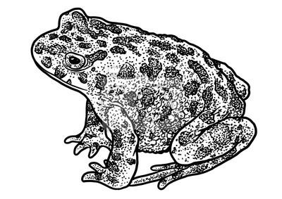 Crapaud Dessin illustration de crapaud vert européen, dessin, gravure, encre