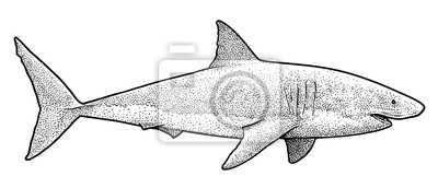 Illustration De Grand Requin Blanc Dessin Gravure Encre Dessin
