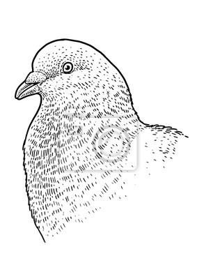 Illustration De Portrait De Tête De Pigeon Dessin Gravure
