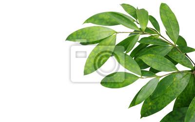 Sticker Japonaise, Bambou, Plante, Feuilles, Isolé, Blanc, Fond, Clipp