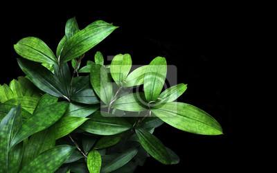 Sticker Japonaise, Bambou, Plante, Verdure, Feuilles, (dracaena, Surculosa)