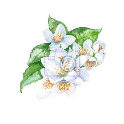 Jasmin fleurs branche. isolé. Illustration d'aquarelle.