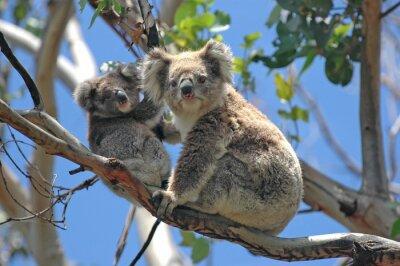 Sticker Koalas sauvages le long Great Ocean Road, Victoria, Australie