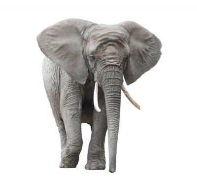 Sticker L'éléphant d'Afrique isolé sur blanc avec chemin de détourage