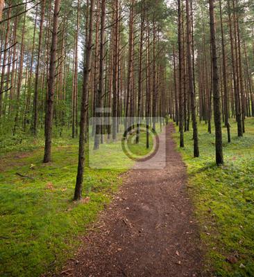 Lane dans la forêt de pins