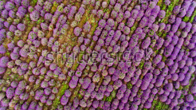 Sticker Lavender field aerial view. Top view.