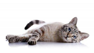 Sticker Le chat aux yeux bleus, rayé se trouve sur un fond blanc.