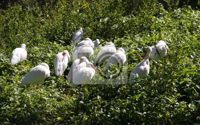 Le groupe ibis blanc avec des plantes à Miami, en Floride