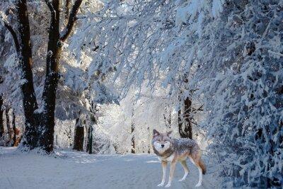Sticker Le magnifique loup polaire blanc est venu pour la chasse