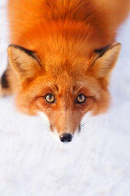Sticker le renard roux