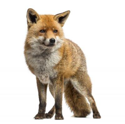 Sticker Le renard roux, Vulpes vulpes, debout, isolé sur blanc