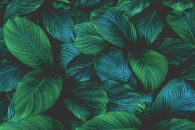 Sticker leaves of Spathiphyllum cannifolium, abstract green texture, nature background, tropical leaf