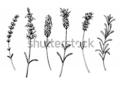 Sticker Les fleurs de lavande des sauvages et des cultivars. Ensemble floral vintage. Croquis dessiné à la main d'encre. Illustration vectorielle