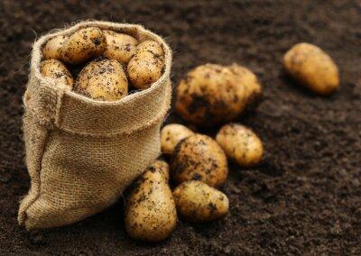 Sticker Les pommes de terre fraîchement récoltés