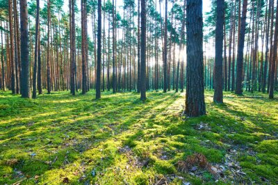 Sticker Lever de soleil dans une forêt de pins