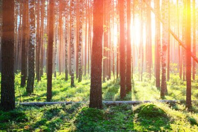 Sticker Lever du soleil dans la forêt de pins