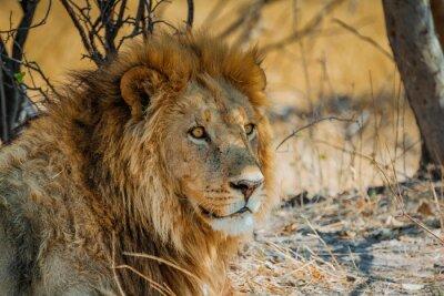 Sticker lion en Afrique