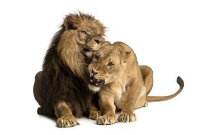 Sticker Lion et lionne câlins, le mensonge, Panthera leo, isolé