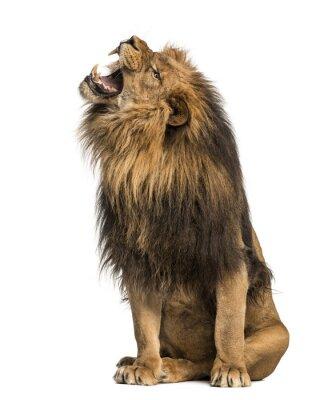 Sticker Lion rugissant, assis, Panthera Leo, 10 ans, isolé