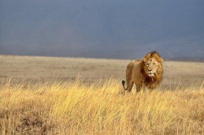 Sticker Lion solitaire