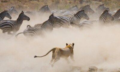 Sticker Lionne attaque sur un zèbre. Parc national. Kenya. Tanzanie. Masaï Mara. Serengeti. Une excellente illustration.