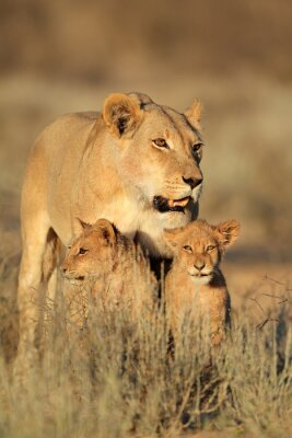 Sticker Lionne, jeune, lion, petits, (panthera, leo), tôt, matin, lumière, Kalahari, désert, sud,