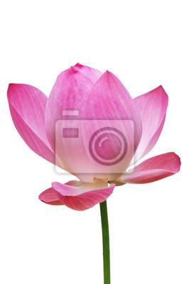Lotus, Rose fleur de nénuphar (lotus) et fond blanc, chemins de détourage