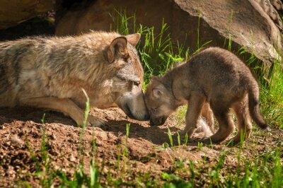 Sticker Loup gris (Canis lupus) Mère et Pup TouchOutside Den