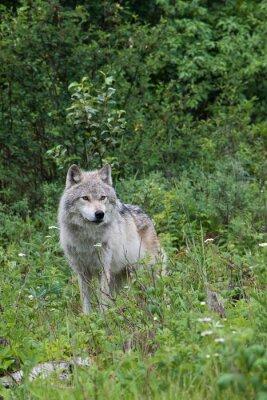 Sticker Loup gris Femme dans une prairie près de Golden, en Colombie-Britannique