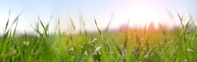 Lush green blades of grass with water drops on meadow close up. Fresh morning dew at sunrise. Panoramic spring nature background.