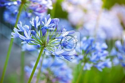 Macro photo de belles fleurs Agapanthus bleu