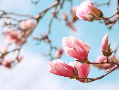 Sticker Magnolia, arbre, fleur, printemps