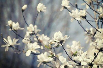 Sticker Magnolia fleurs