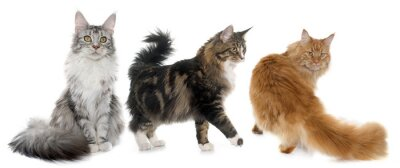 Sticker Maine coon chats
