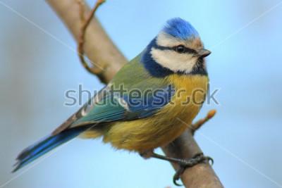 Sticker Mésange bleue sur la branche devant le beau fond