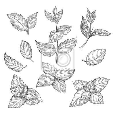 Sticker Mint main croquis illustration vectorielle. Peppermint, gravé, dessin, menthol, feuilles, isolé, blanc, fond